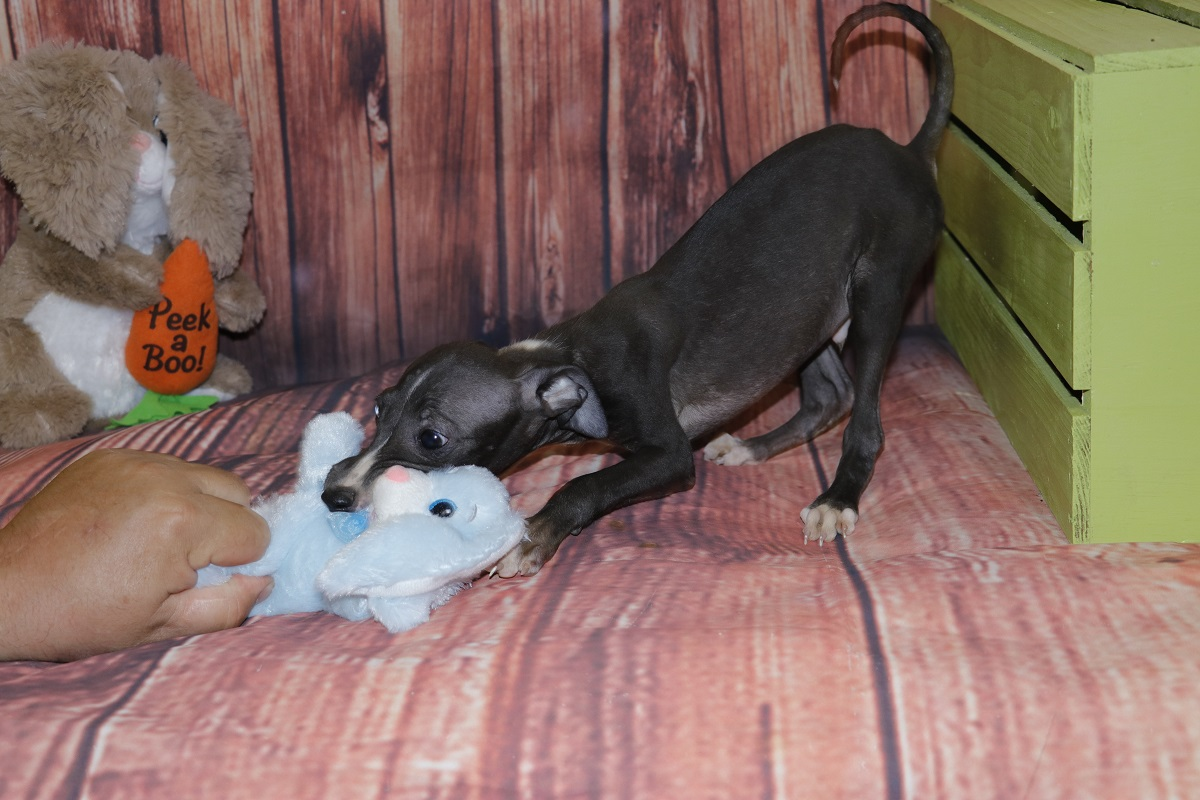 Buzz-Proud Puppy Love-Kim Dildine-Italian Greyhound